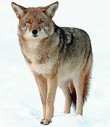 Imatge relacionada amb coiot
