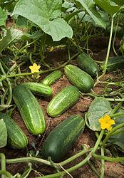 Imatge relacionada amb cogombre