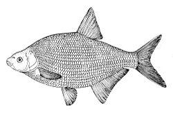 Imatge relacionada amb peix
