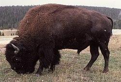 Imatge relacionada amb bisó