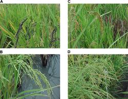 Imatge relacionada amb arròs