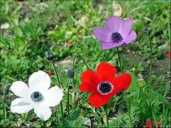 Imatge relacionada amb anemone