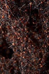 Imatge relacionada amb formiga