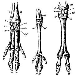 Imatge relacionada amb artiodàctil