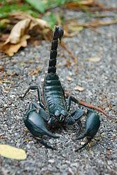 Imatge relacionada amb escorpí