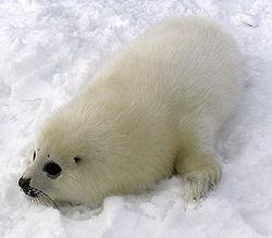 Imatge relacionada amb foca
