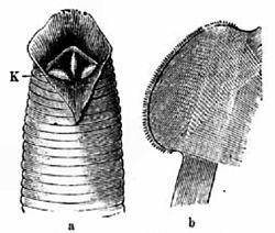 Imatge relacionada amb sangonera