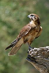 Imatge relacionada amb falcó
