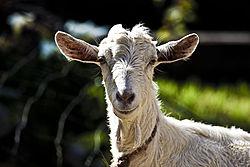 Imatge relacionada amb cabra
