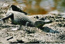 Imatge relacionada amb caiman