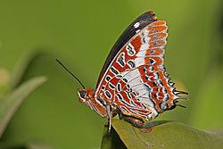Imatge relacionada amb papallona