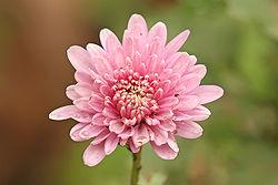 Imatge relacionada amb crisantem