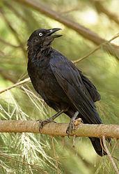 Imatge relacionada amb corb