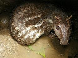 Imatge relacionada amb paca