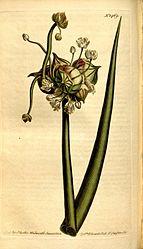 Imatge relacionada amb ceba