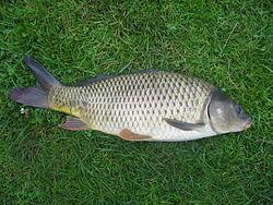 Imatge relacionada amb carpa