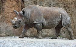 Imatge relacionada amb rinoceront