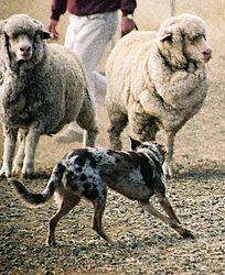 Imatge relacionada amb gos pastor