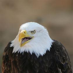 Imatge relacionada amb àguila