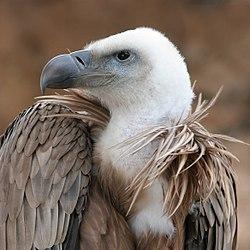 Imatge relacionada amb voltor