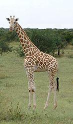 Imatge relacionada amb girafa