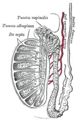 Imatge relacionada amb testicle