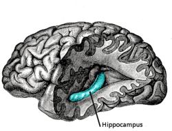Imatge relacionada amb hipocamp