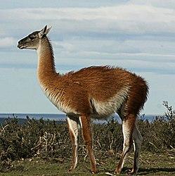 Imatge relacionada amb guanac