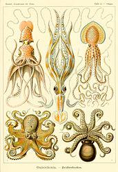 Imatge relacionada amb cefalòpode