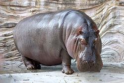 Imatge relacionada amb hipopòtam