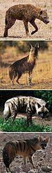 Imatge relacionada amb hiena