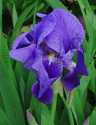 Imatge relacionada amb iris