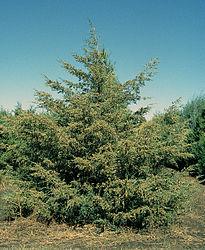 Imatge relacionada amb perennifoli