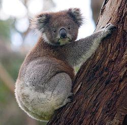 Imatge relacionada amb coala