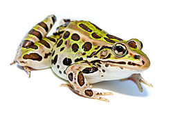 Imatge relacionada amb granota