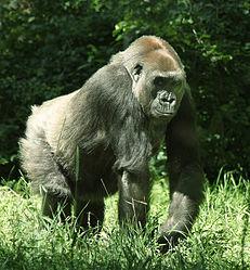 Imatge relacionada amb goril·la