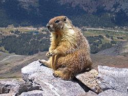 Imatge relacionada amb marmota