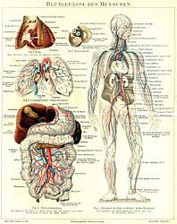 Imatge relacionada amb vas sanguini