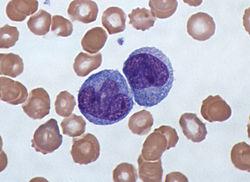 Imatge relacionada amb monòcit