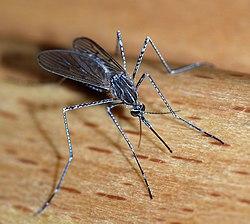 Imatge relacionada amb mosquit
