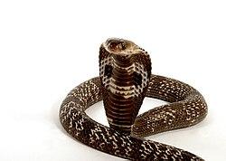 Imatge relacionada amb cobra