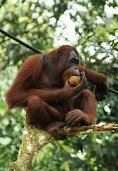 Imatge relacionada amb orangutan