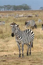 Imatge relacionada amb zebra