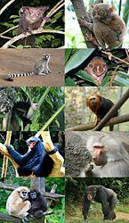 Imatge relacionada amb primat