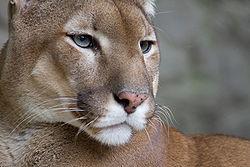 Imatge relacionada amb puma