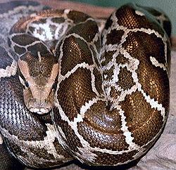 Imatge relacionada amb pitó