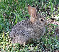Imatge relacionada amb conill