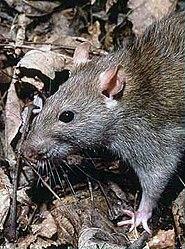 Imatge relacionada amb rata