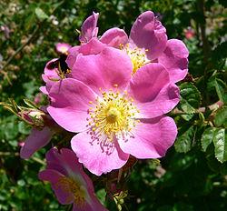 Imatge relacionada amb rosa