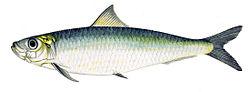 Imatge relacionada amb sardina